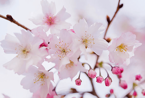 Spring Means Cherry Blossom Time!