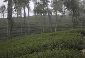 Tea Heaven